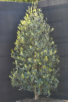 ネバディロ・ブランコ H-125cm(特選オリーブの木)
