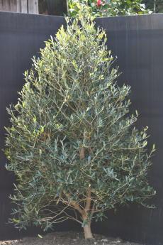 ネバディロ・ブランコ H-140cm(特選オリーブの木)