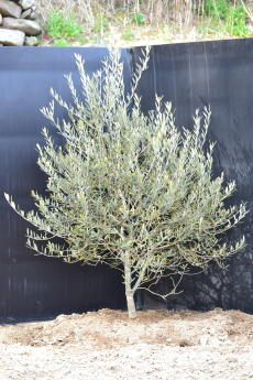 マンザニロ H-115cm(特選オリーブの木)