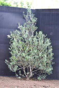 マンザニロ H-135cm(特選オリーブの木)