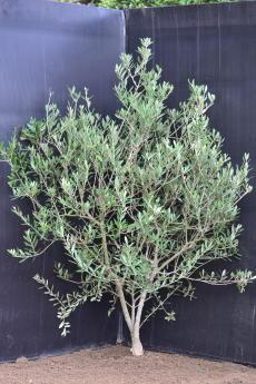マンザニロ H-120cm(特選オリーブの木)