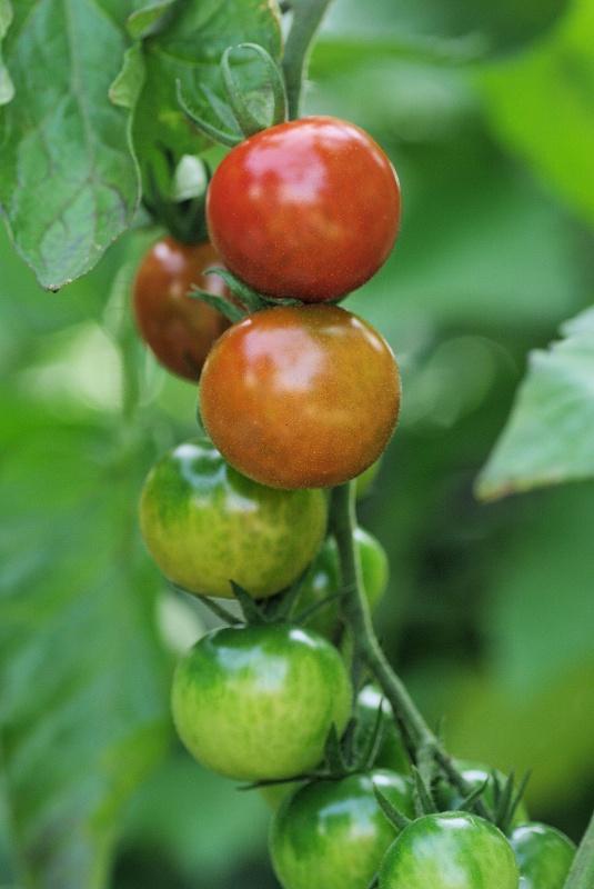 tomato-02af.jpg