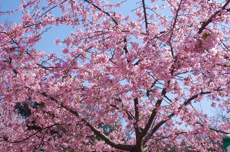 sakura-kawadu01af.jpg