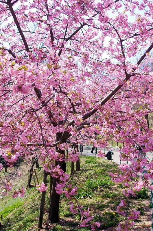 sakura-kawadu08af.jpg