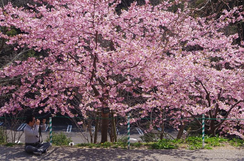 sakura-kawadu15af.jpg