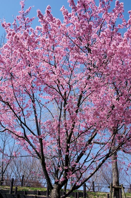 sakura-okame02af.jpg