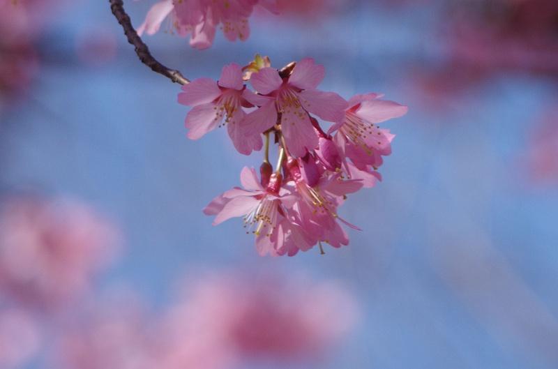 sakura-okame12xaf.jpg