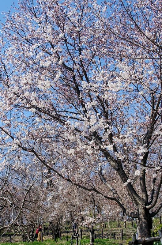 sakura-hanagatami05af.jpg