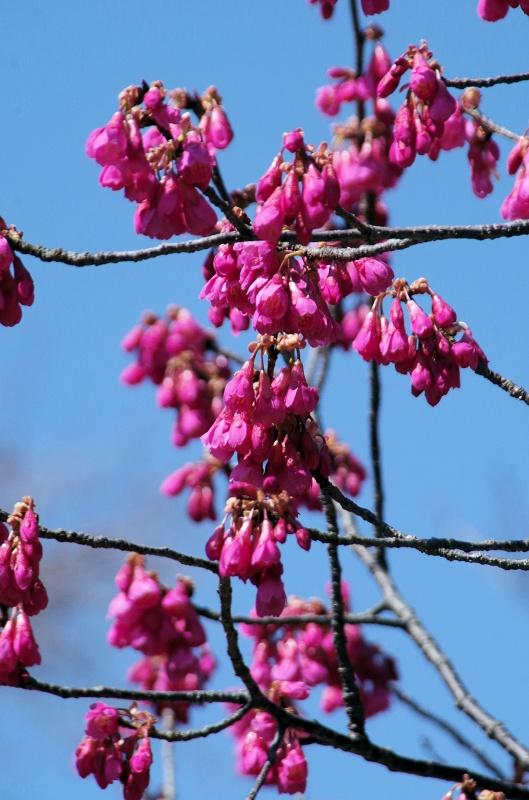 sakura-kanhi01af.jpg