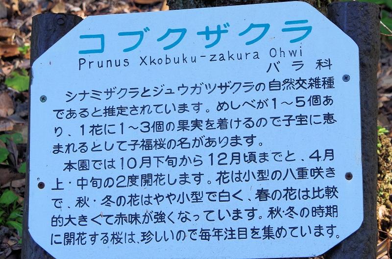 sakura-kobuku-13af.jpg