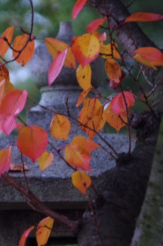 08-sakura-kouyou01af.jpg