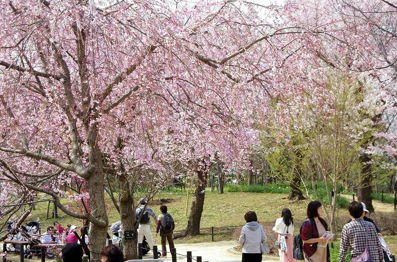 sakura-sidare-itozalura-01af.jpg
