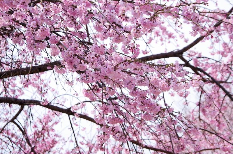 sakura-sidare-itozalura-03af.jpg