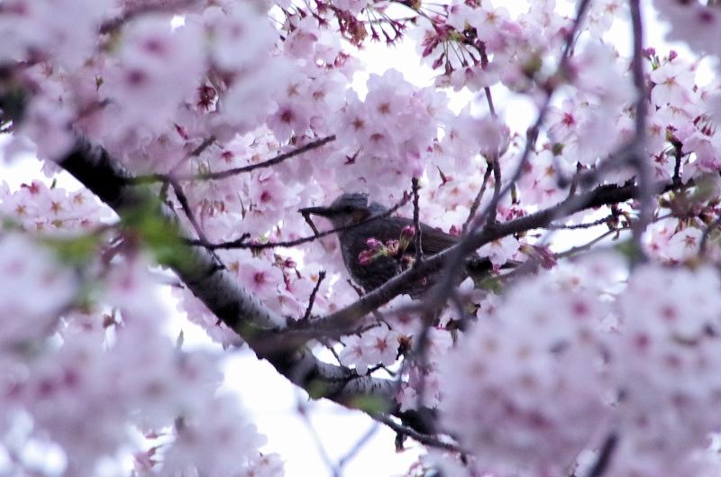 08-asa-sakura-09af.jpg