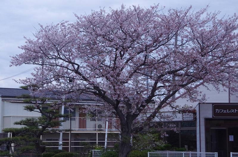 12-asa-sakura-12af.jpg