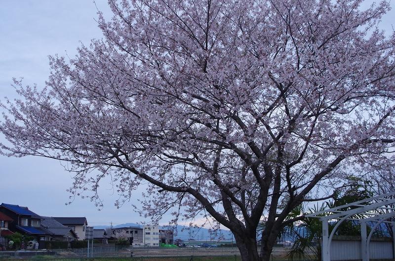 12-asa-sakura-17af.jpg