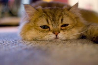 やる気が出ない猫