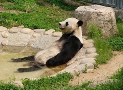 やる気のないパンダ