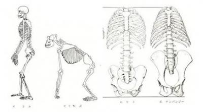 人と猿 骨盤の違い