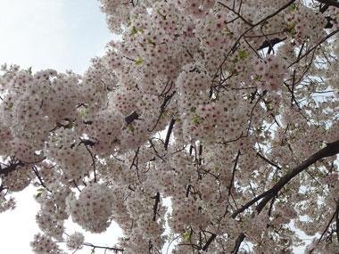 お花見2013−3.jpg