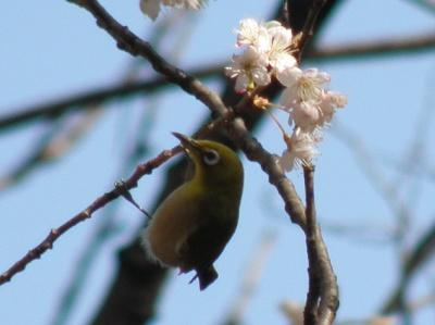 P3150040松島橋付近の早咲き桜にメジロ_400_Good.jpg