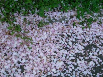 R0030313裏道の桜並木_400.jpg