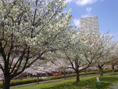 RIMG0114小松川千本桜_400.jpg