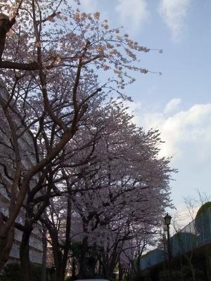 RIMG0099桑の木通りの桜_300.jpg