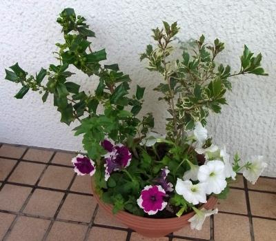 RIMG0238寄せ植え鉢-Aにペチュニア_400.jpg