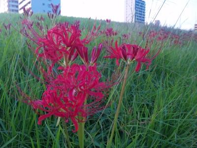 SBSH0226彼岸花とビル_400.jpg