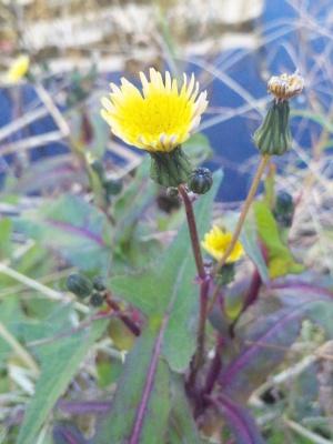 SBSH0259冬の野草の花-1_300.jpg