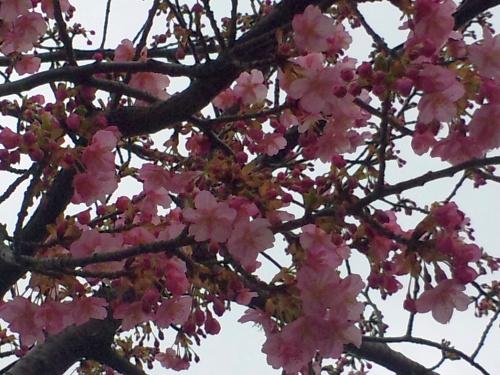 SBSH0266小松川千本桜のカワズザクラZoom_500.jpg