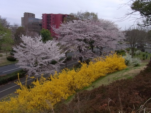 i00011桜とレンギョウ並木_500.jpg