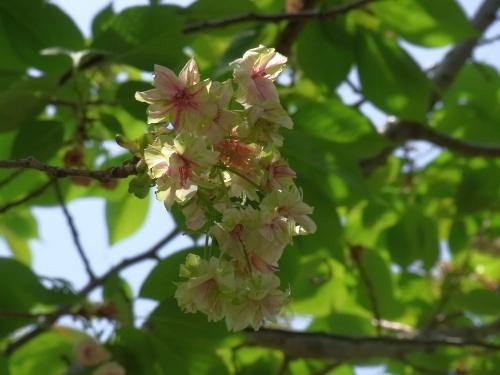 R0012132緑の桜、かろうじて_400.jpg