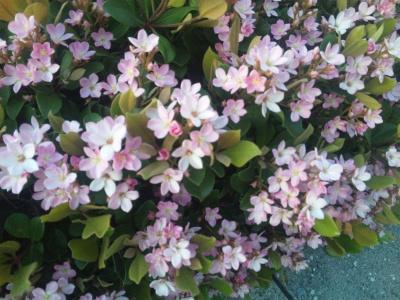 SBSH0468小名木川シャリンバイのピンクの花満開_400.jpg