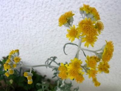 R0013087シロタエギクの花_400.jpg