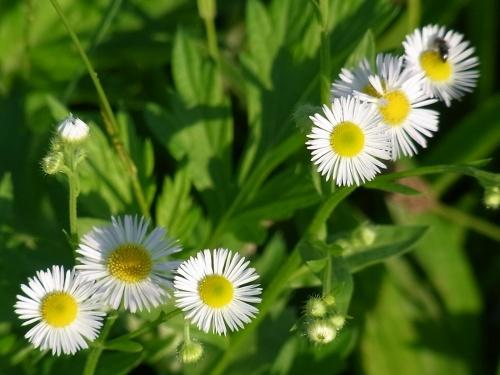 R0013750ヒメジョオンの白い花_500.jpg