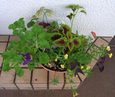 R0014097寄せ植え鉢-Lアンゲロニアを抜いてコリウスを植える_400.jpg