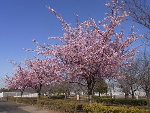 R0017794小松川千本桜の河津桜_500.jpg