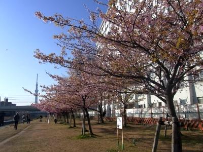 R0017860旧中川河津桜並木とスカイツリー_400.jpg