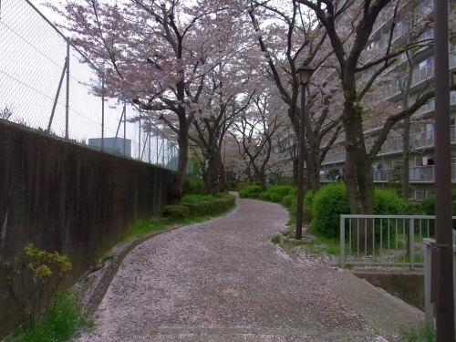 R0018904桜の花びらの小道_500.jpg