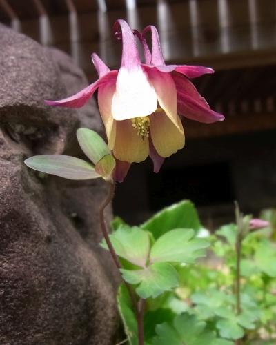 R0019135庭のオダマキの花_400.jpg