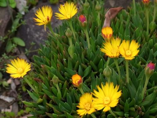 R0019199尖った葉に黄色い花テルナミ_500.jpg