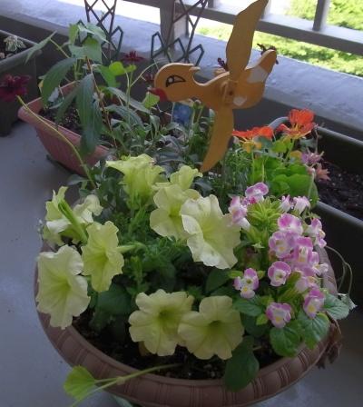 R0020113寄せ植え鉢-Hにトレニア追加_400.jpg