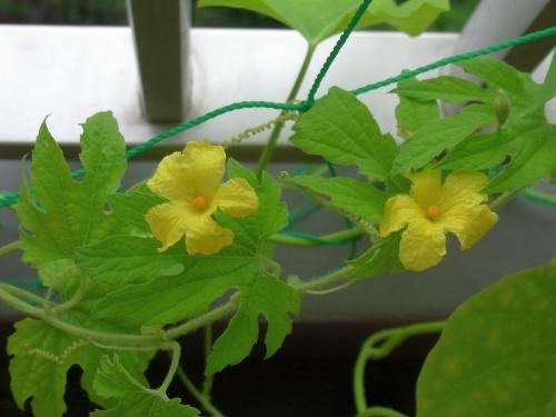 R0020922ゴーヤの花が咲いた_500.jpg