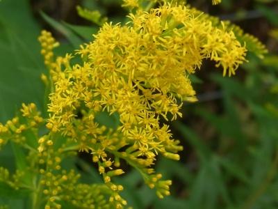 R0022555セイタカアワダチソウの黄色い花_400.jpg