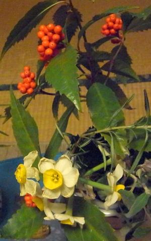 R0015680_1218夜-食卓の水仙の花とセンリョウの実_300.jpg