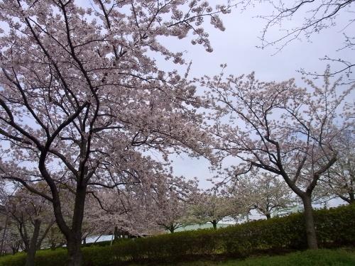 R0026337桜満開_500.jpg