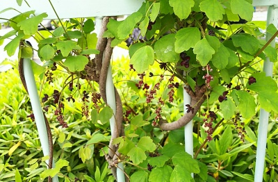 DSC_0008ミツバアケビの葉と花_400.jpg