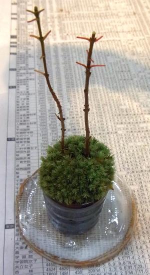 R0029540ミニ盆栽完成_300.jpg